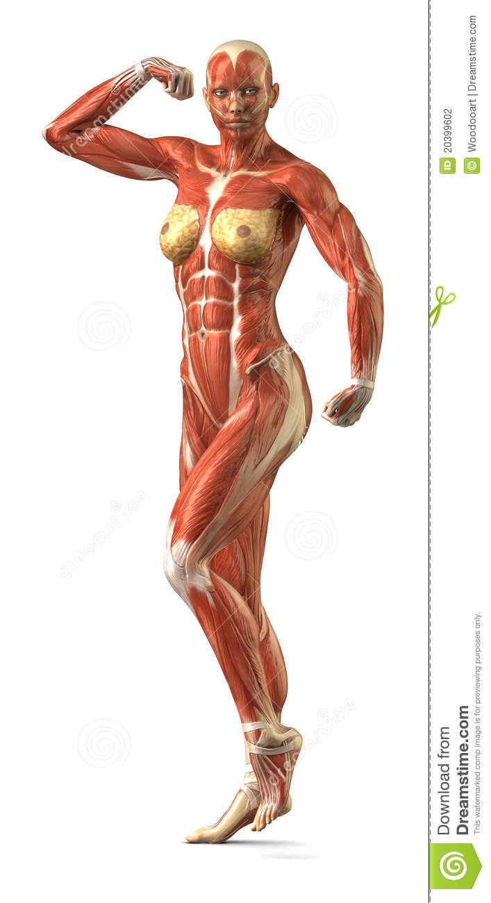 Ureter further Mandela effect human anatomy and bone structure besides Sesamoid Bones also Human Skeletal System Structurefunctionsdiseases 1479464468 1 furthermore Acc 7200. on musculoskeletal system organs