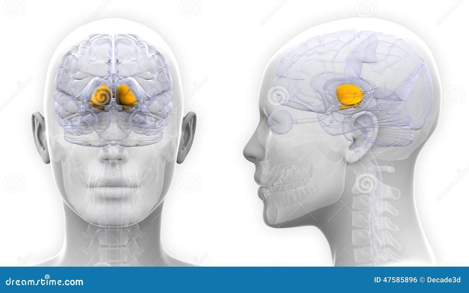 Female Basal Ganglia Brain Anatomy Isolated On White Stock