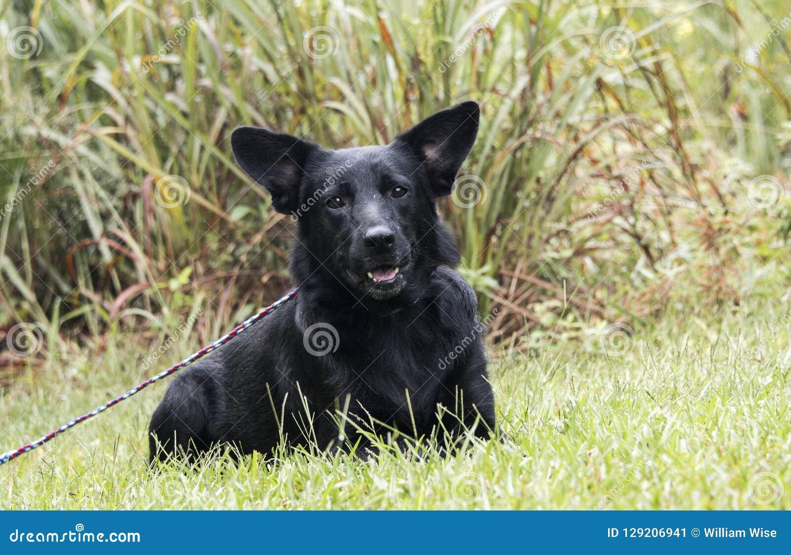 Black German Shepherd mix dog laying down