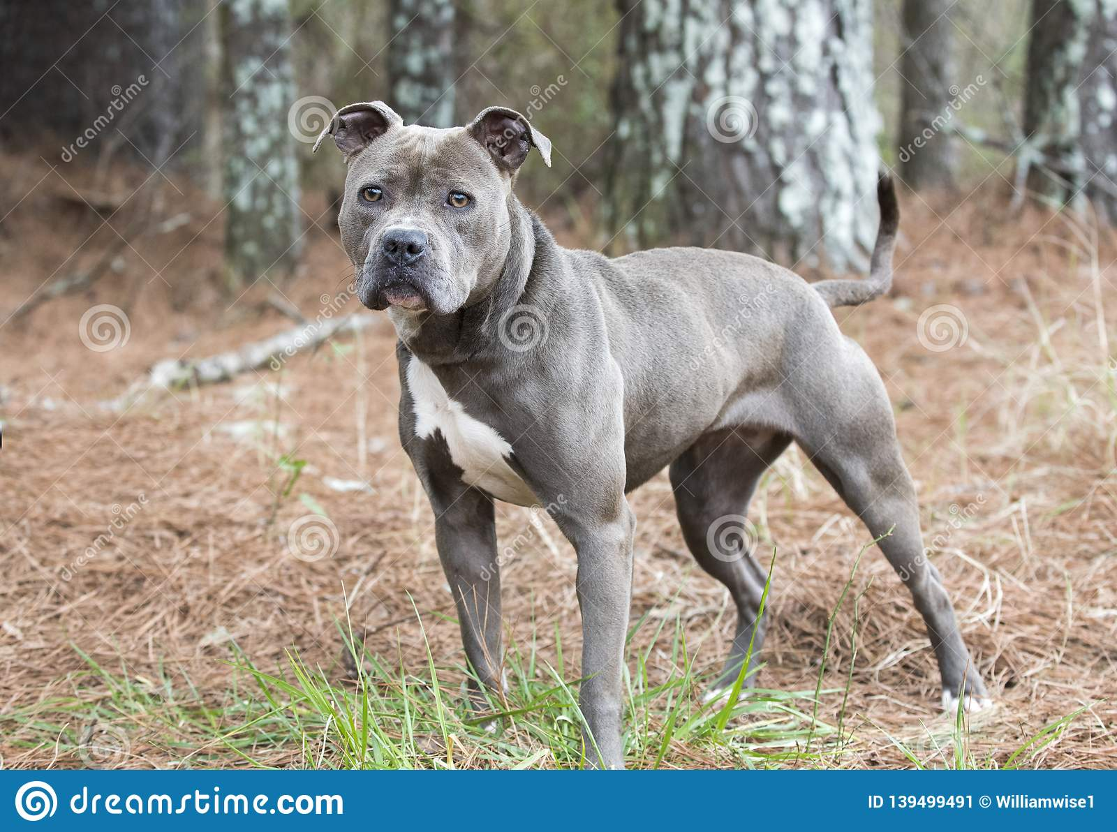 Female Blue Nose American Pitbull Terrier Staring At Camera