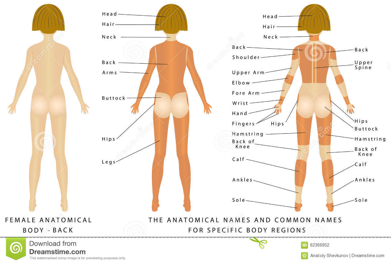 Female body - Back stock vector. Illustration of shoulder - 62366952