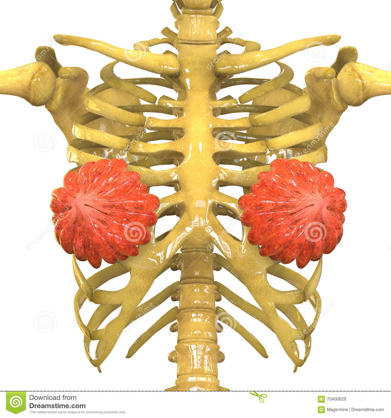 Female Body Organs (Mammary Glands) With Skeleton System Stock ...