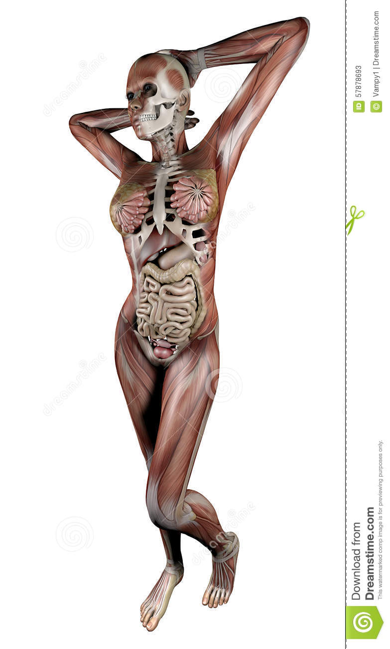 Female Body With Skeletal Muscles And Organs Stock ... X Ray Human Skull