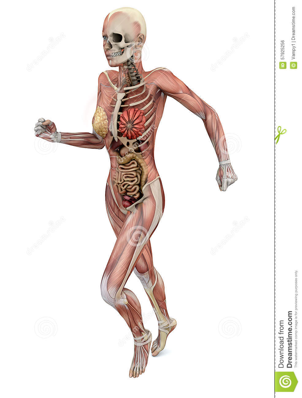 Female Body With Skeletal Muscles And Organs Stock Illustration