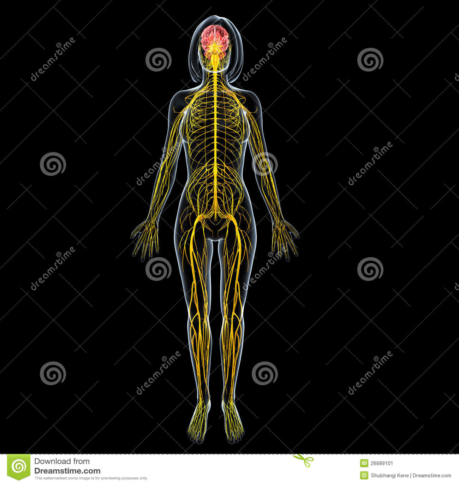 FeMale Brain Anatomy With Full Body Nervous System Stock ...