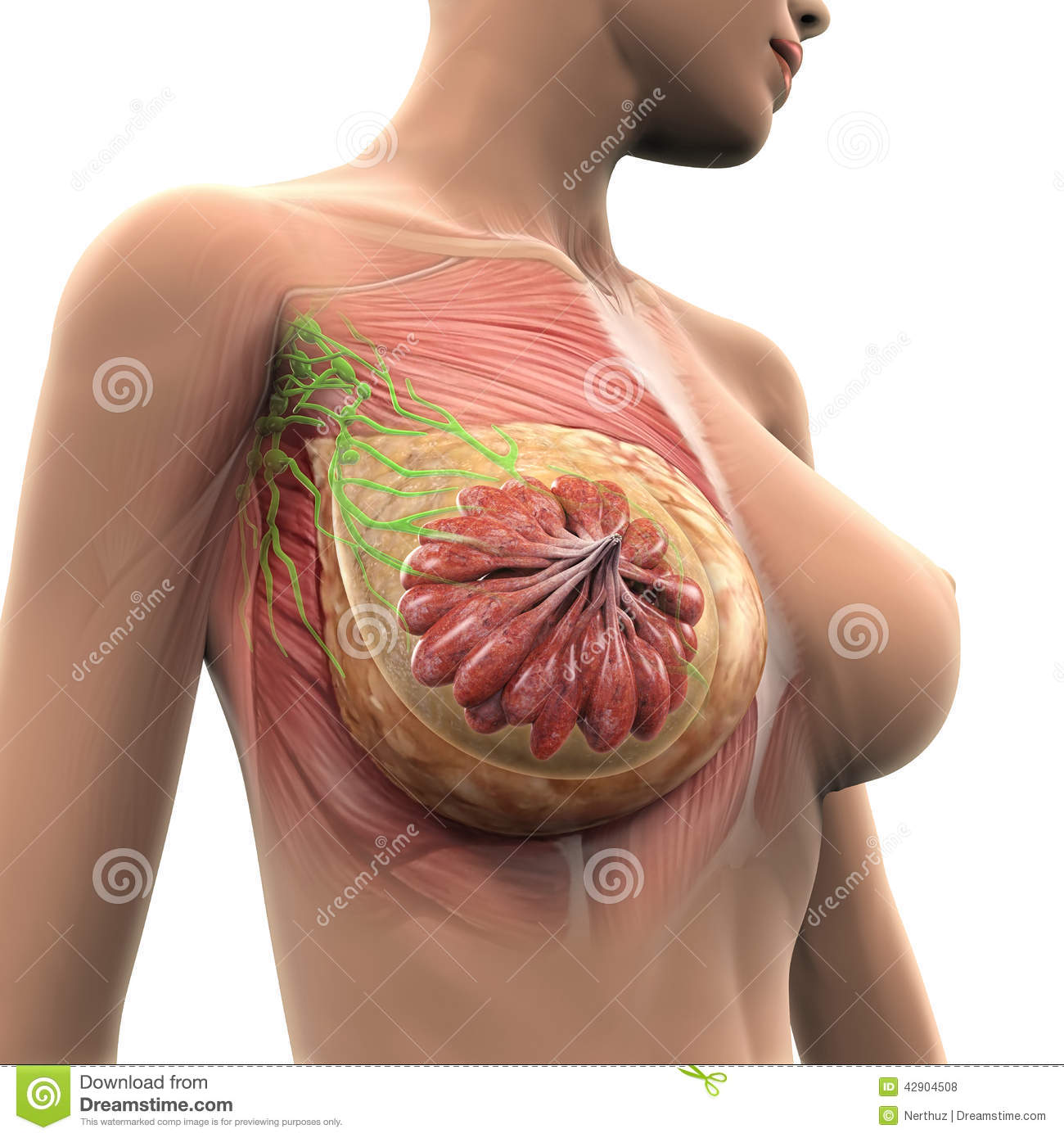 Slide show: Female breast anatomy - Mayo Clinic