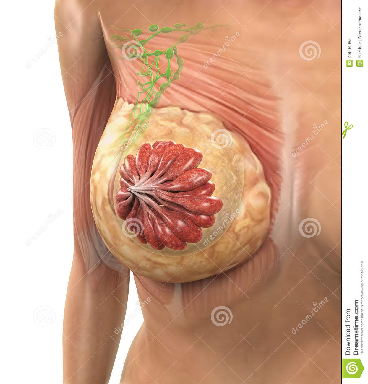Female Breast Anatomy stock illustration. Illustration of breast ...