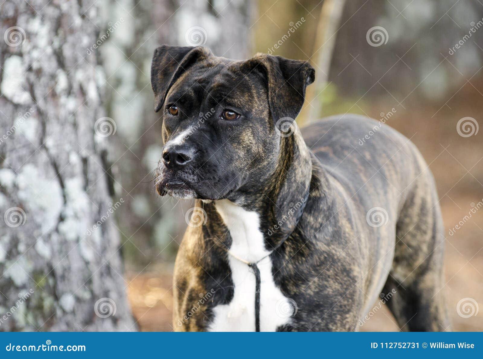 Brindle Boxer Pitbull Mastiff Puppy Dog Stock Image Image Of Sales