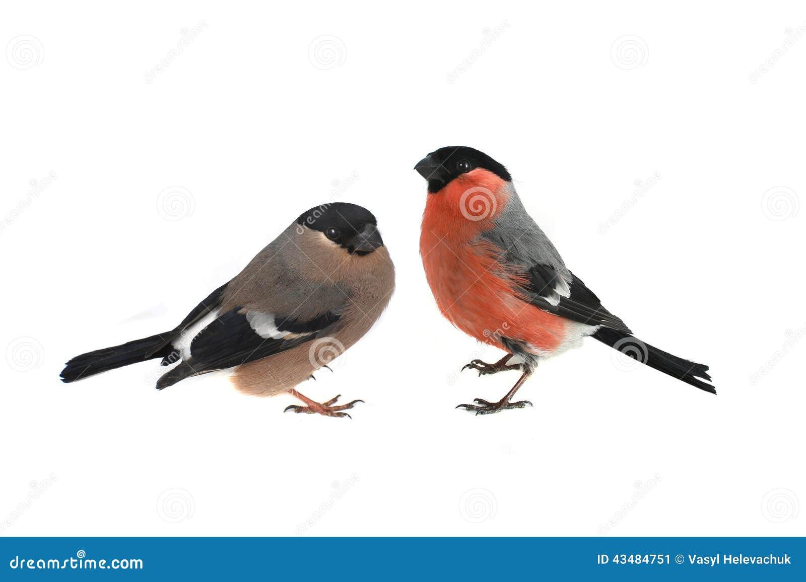 Female Bullfinch Stock Photo - Image: 43484751