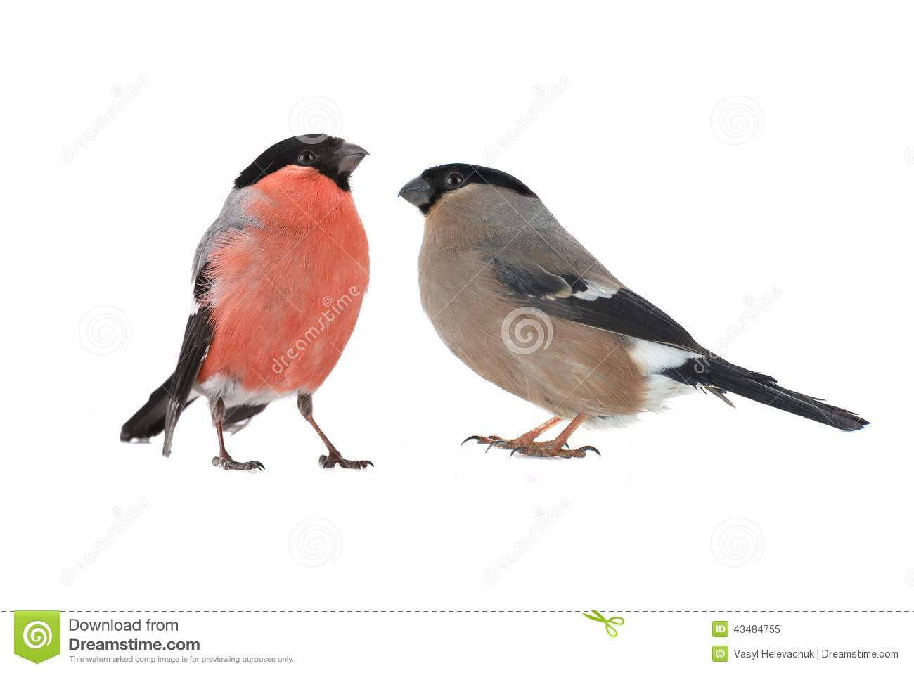 Female Bullfinch Stock Photo Image 43484755