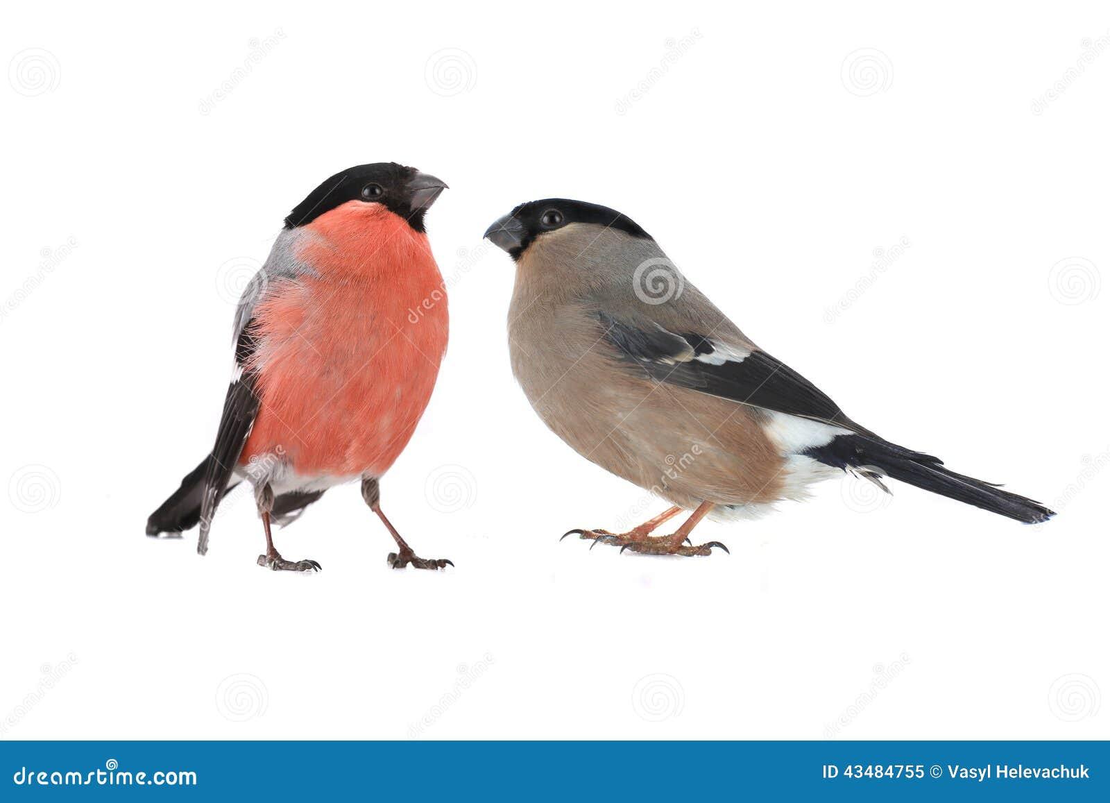 Female Bullfinch Stock Photo - Image: 43484755