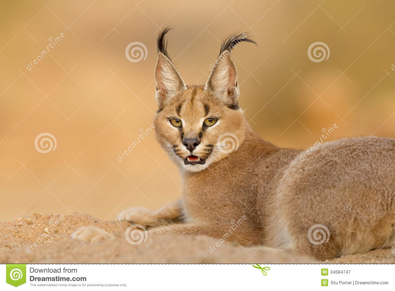 Female Caracal resting, South Africa