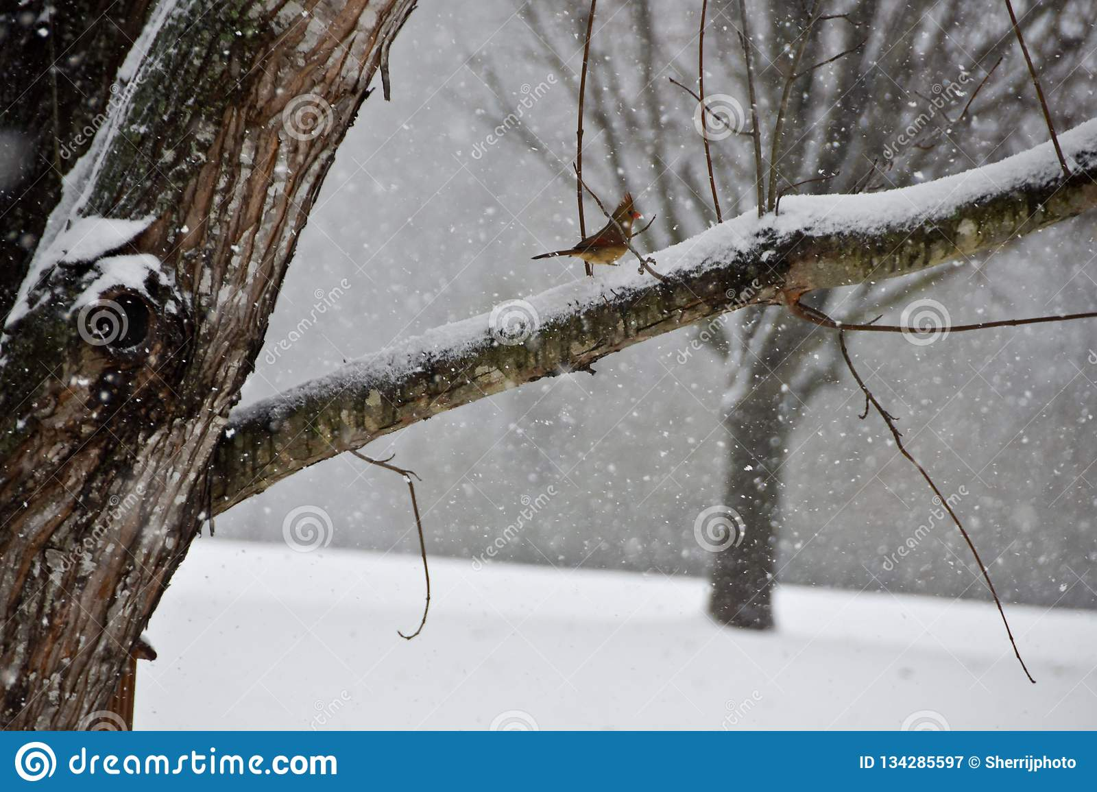Female Cardinal Perched on a branch in a Snow Storm