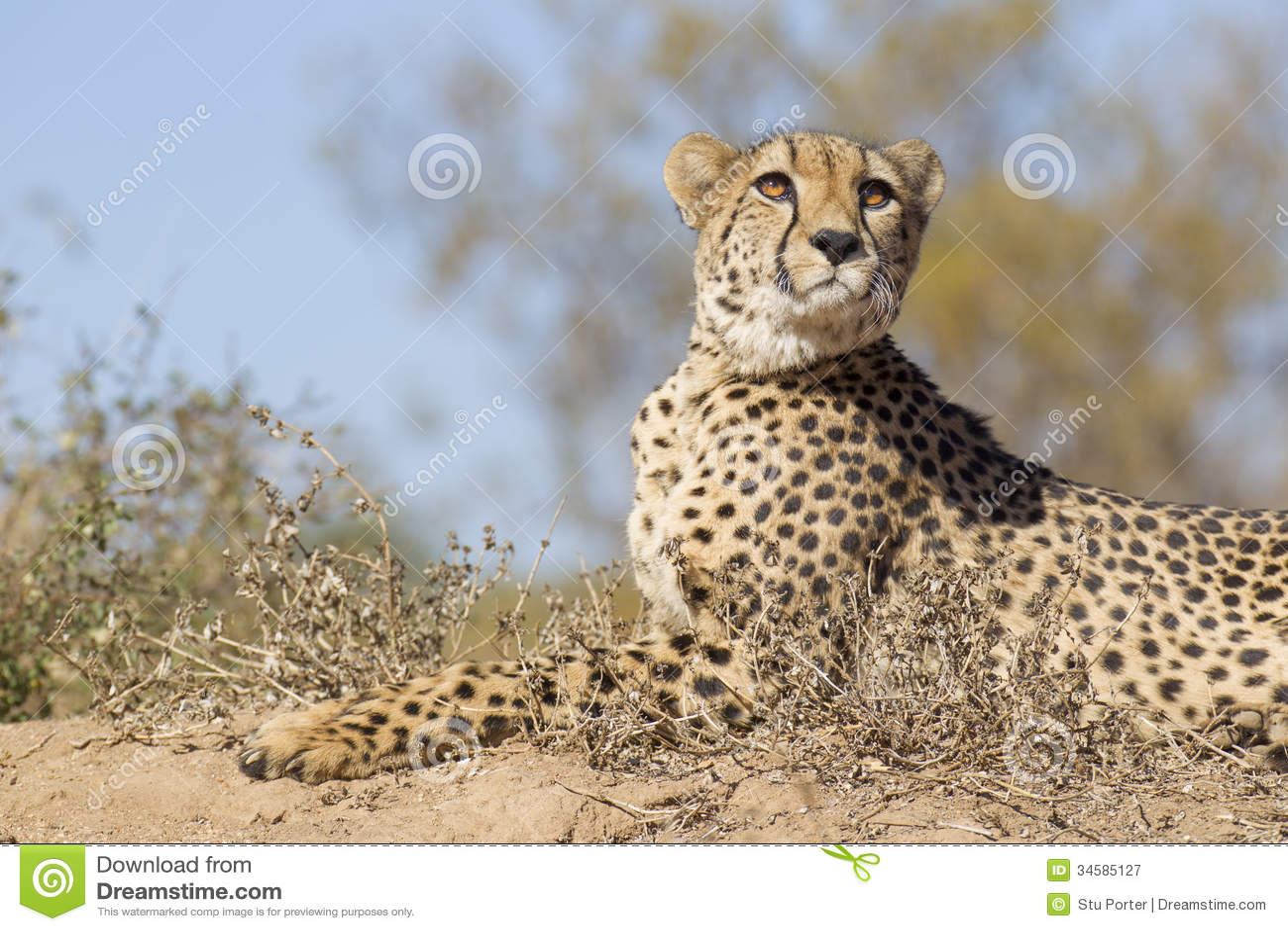 Female Cheetah (Acinonyx jubatus lying on top of a termite mound in ...