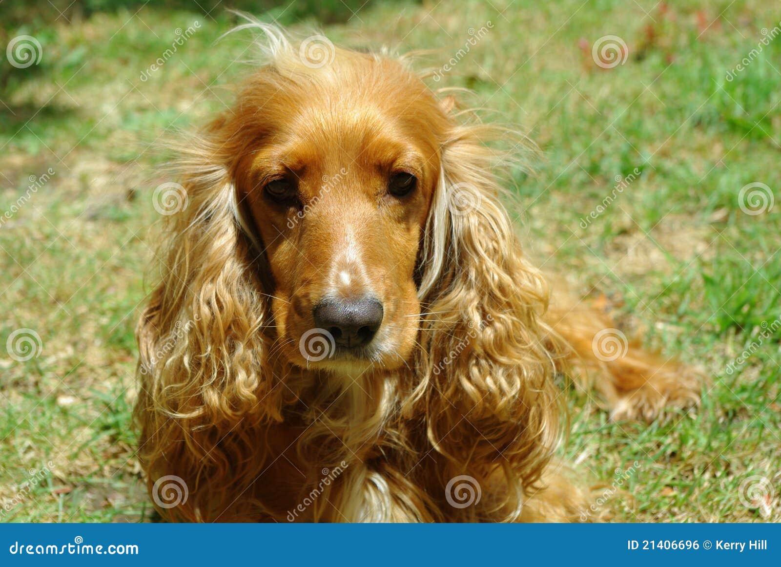 female cocker spaniel dog stock photo  image of bred