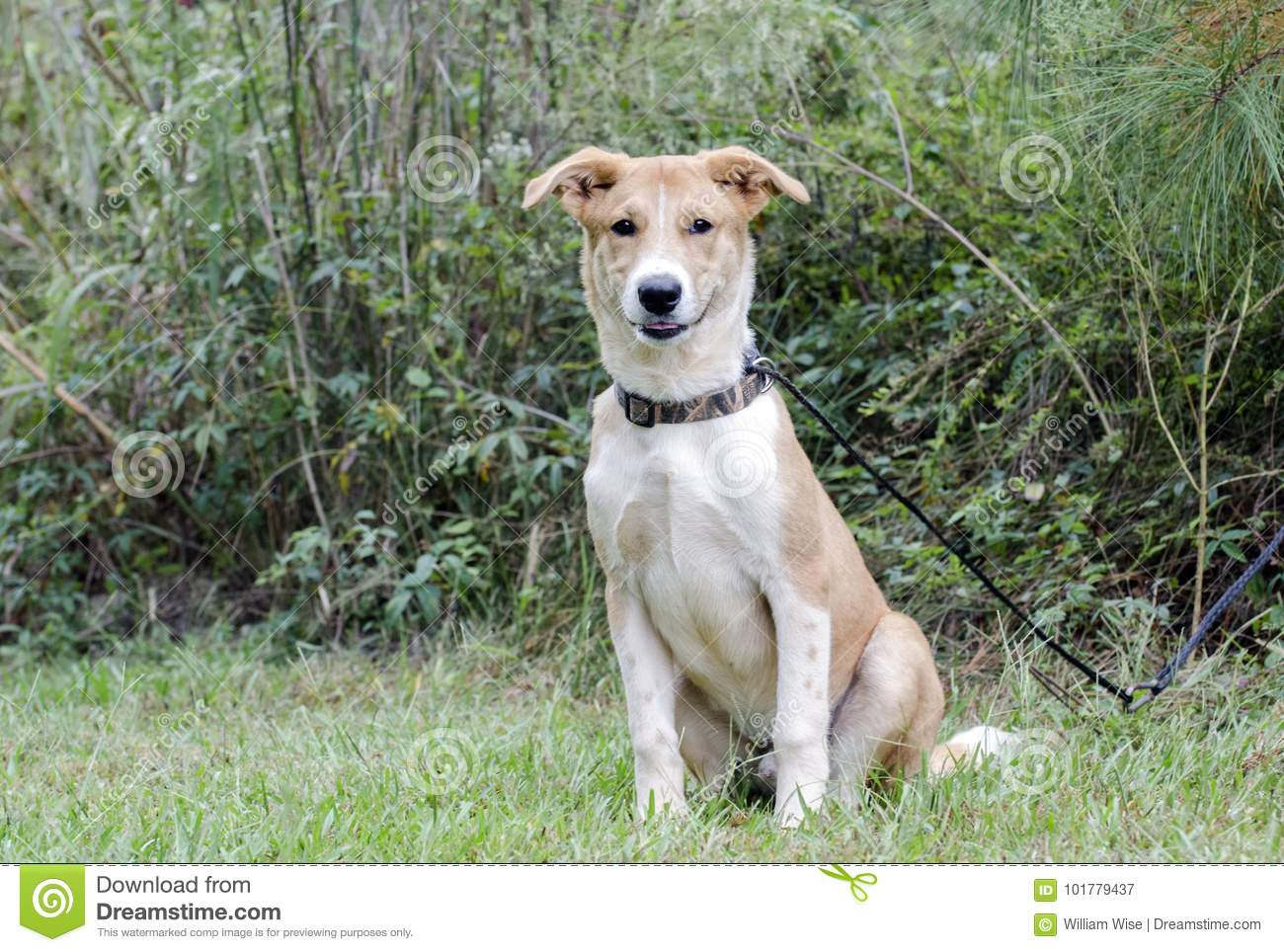 Collie Shepherd Mixed Breed Mutt Puppy Dog Stock Image Image Of