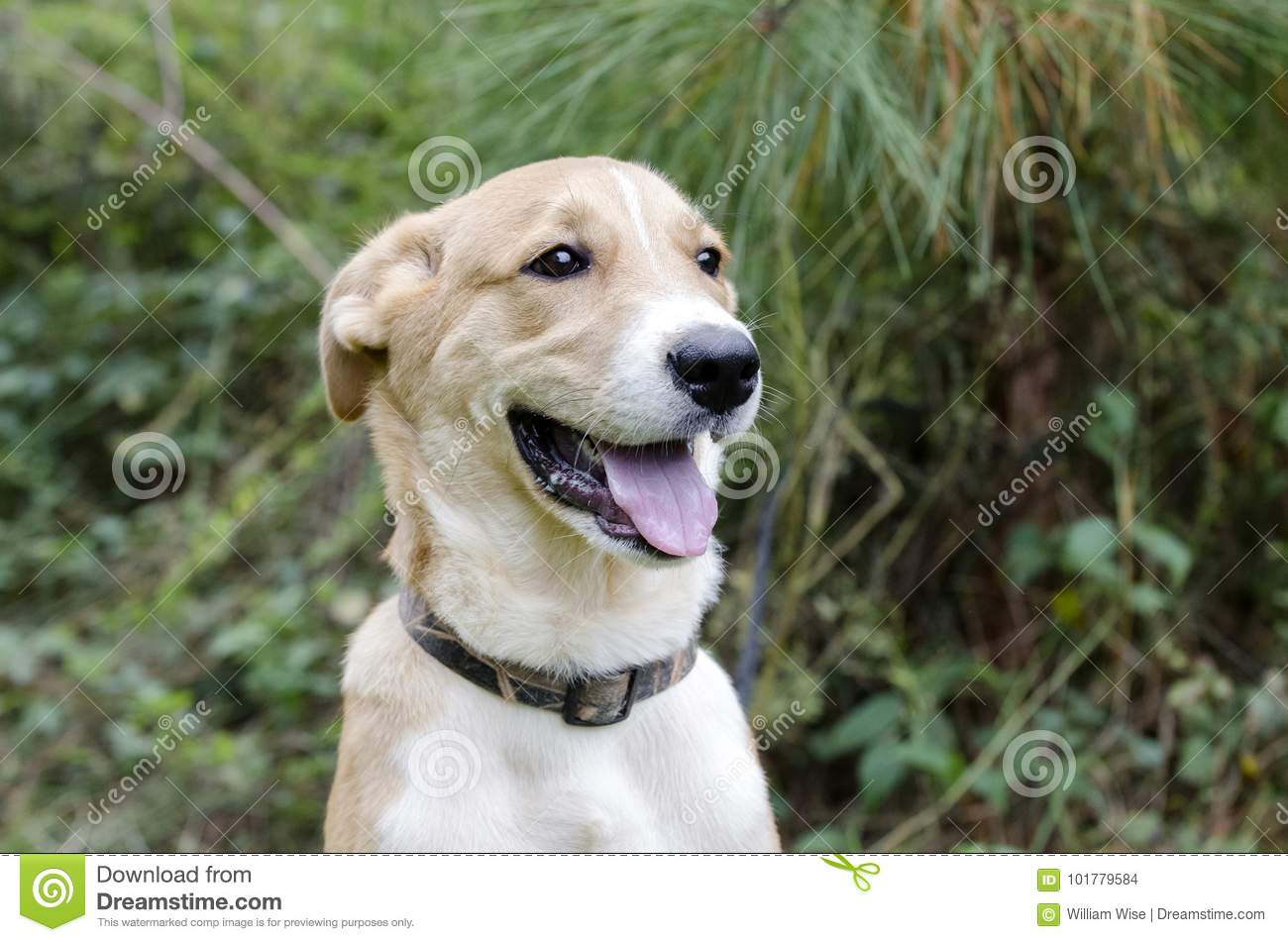 Collie Shepherd Mixed Breed Mutt Puppy Dog Stock Photo Image Of
