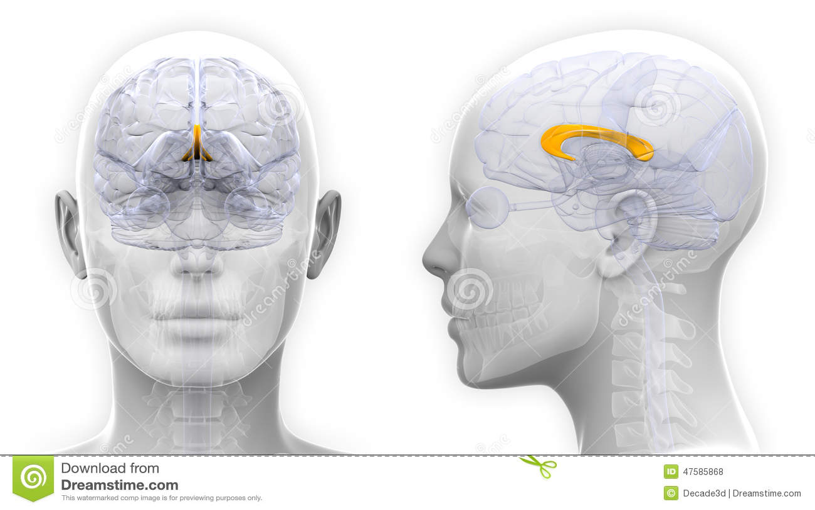 Female Corpus Callosum Brain Anatomy Isolated On White Stock