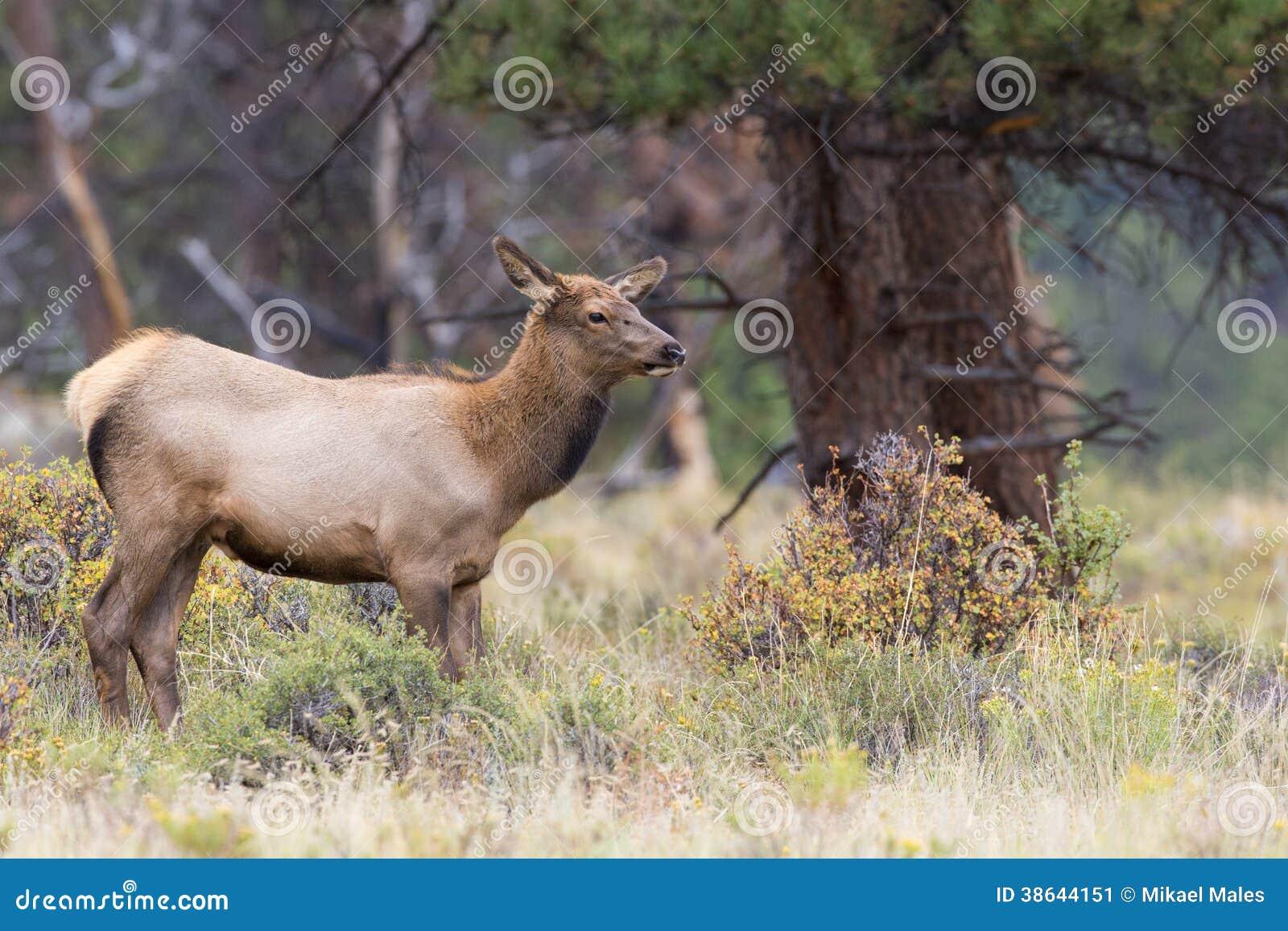 Female cow elk looking for bull elk