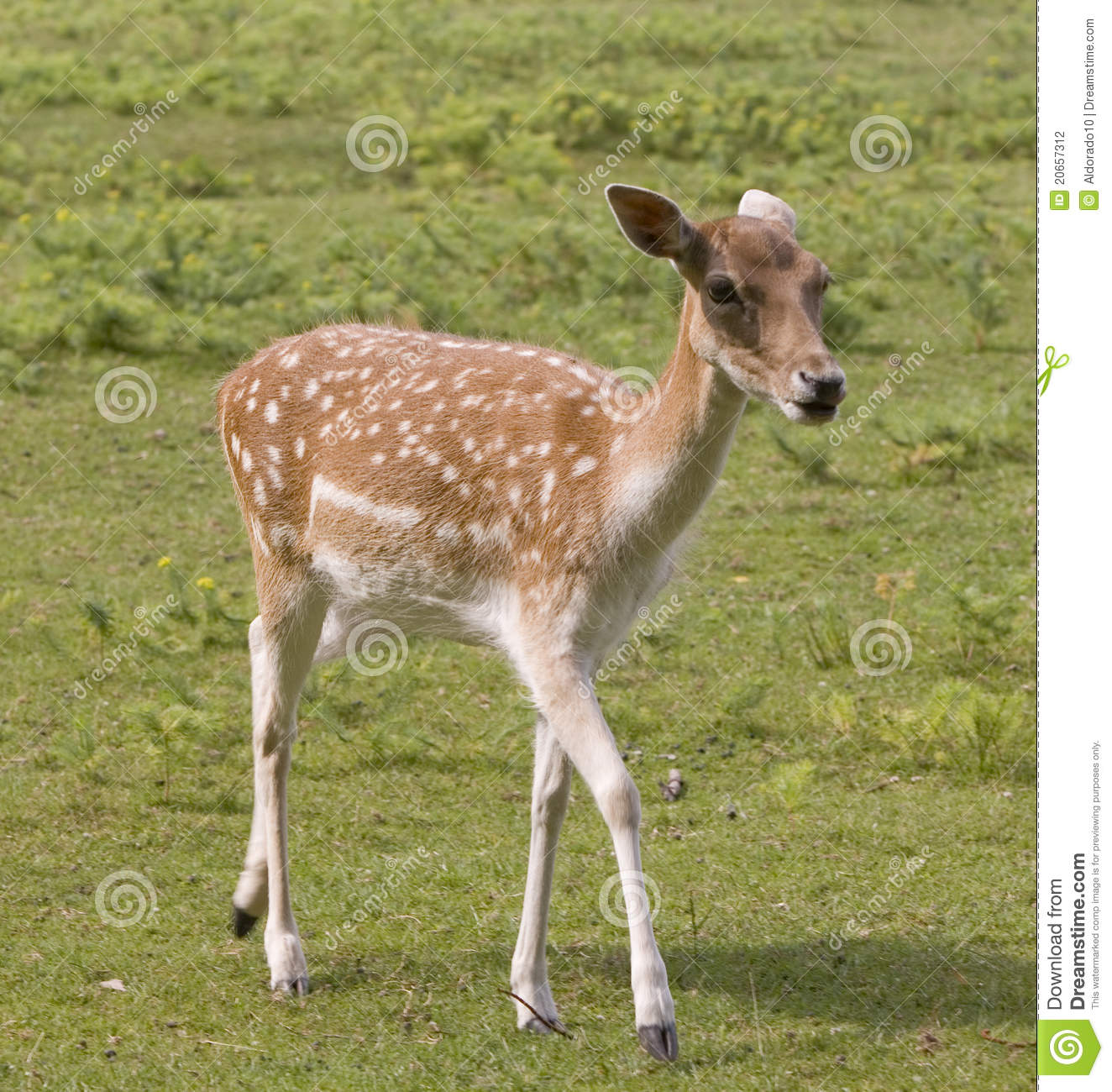Female Deer In Countryside Stock Photography Image 20657312
