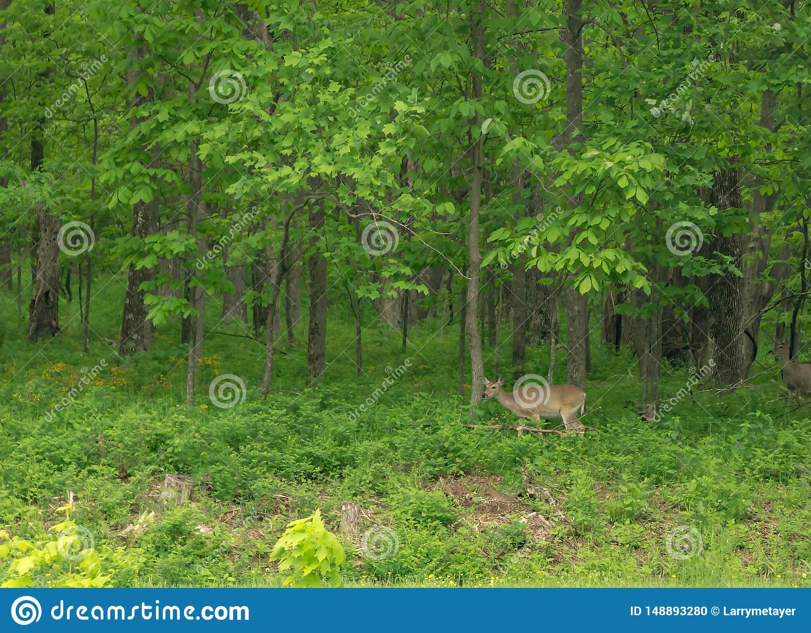 The Edge Bedford >> Female Deer By The Edge Of The Woods Stock Photo Image Of