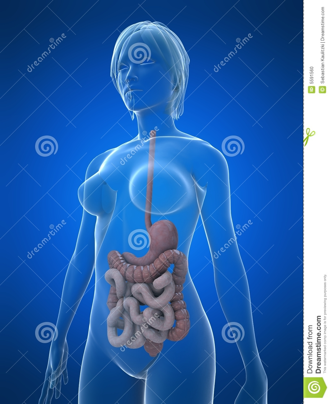 Female Digestive System Stock Photo - Image: 5591560