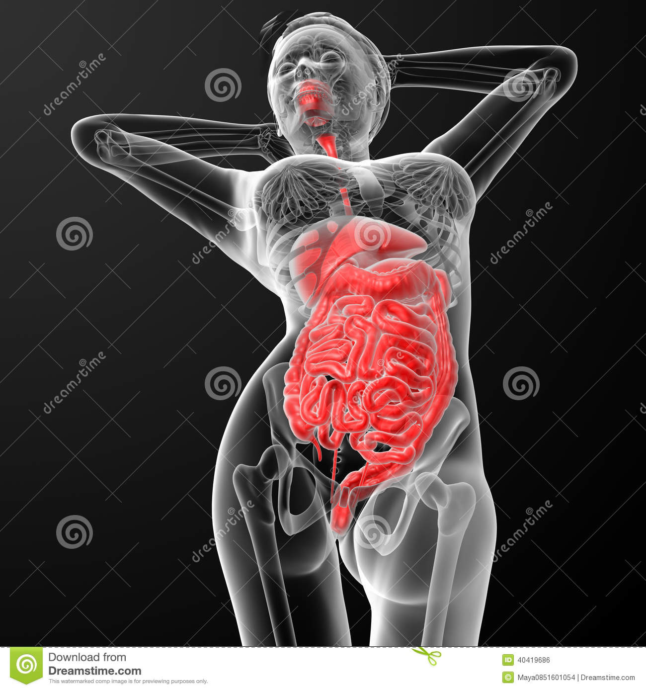 Female digestive system stock illustration illustration of female digestive system ccuart Image collections