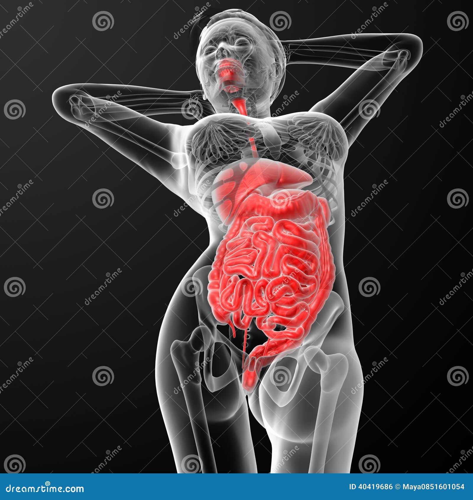Female Digestive System Stock Illustration