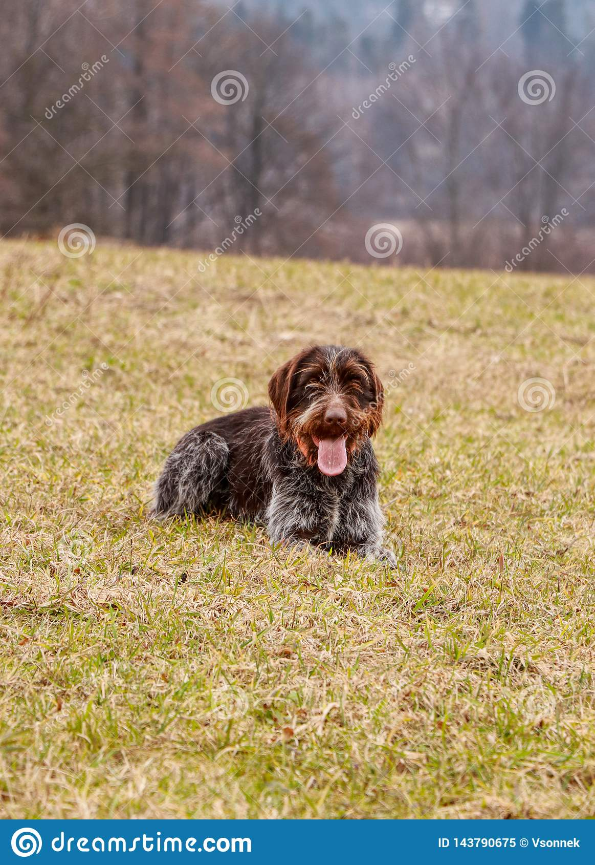 Female dog grin like a Cheshire Cat. Bohemian wire-haired Pointing Griffon lying in grass and waiting on signal for hunt. Dog with