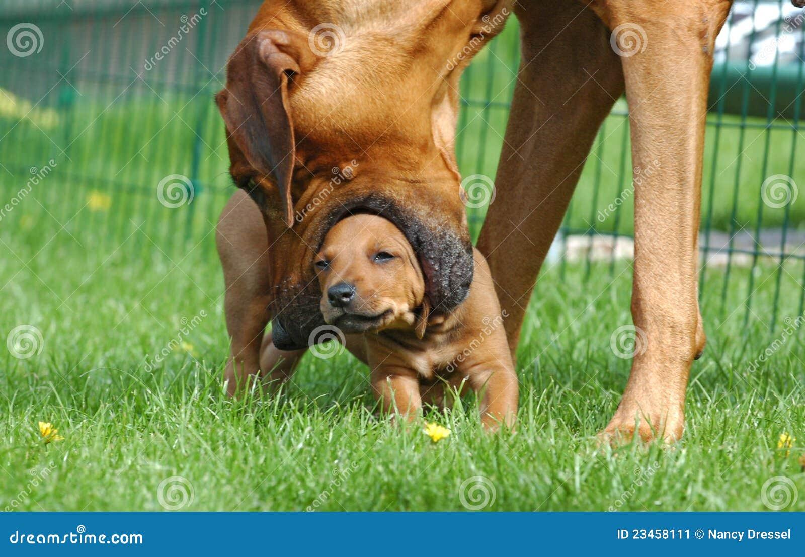 Female dog teaching puppy