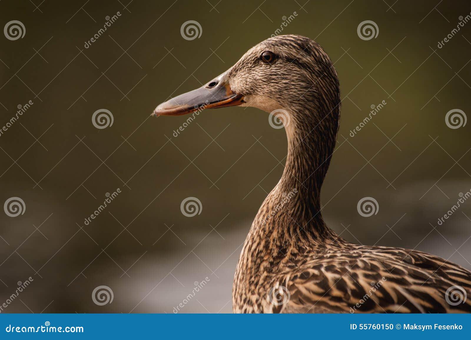 Female duck portrait on blurred background