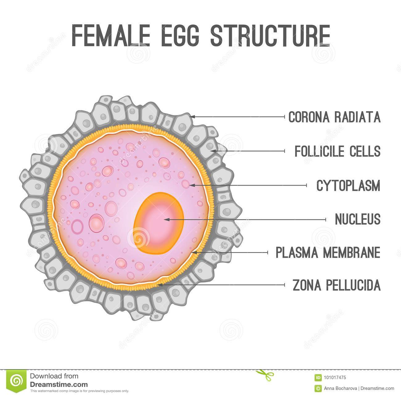 Womans Diagram Of An Egg - Data Wiring Diagrams •