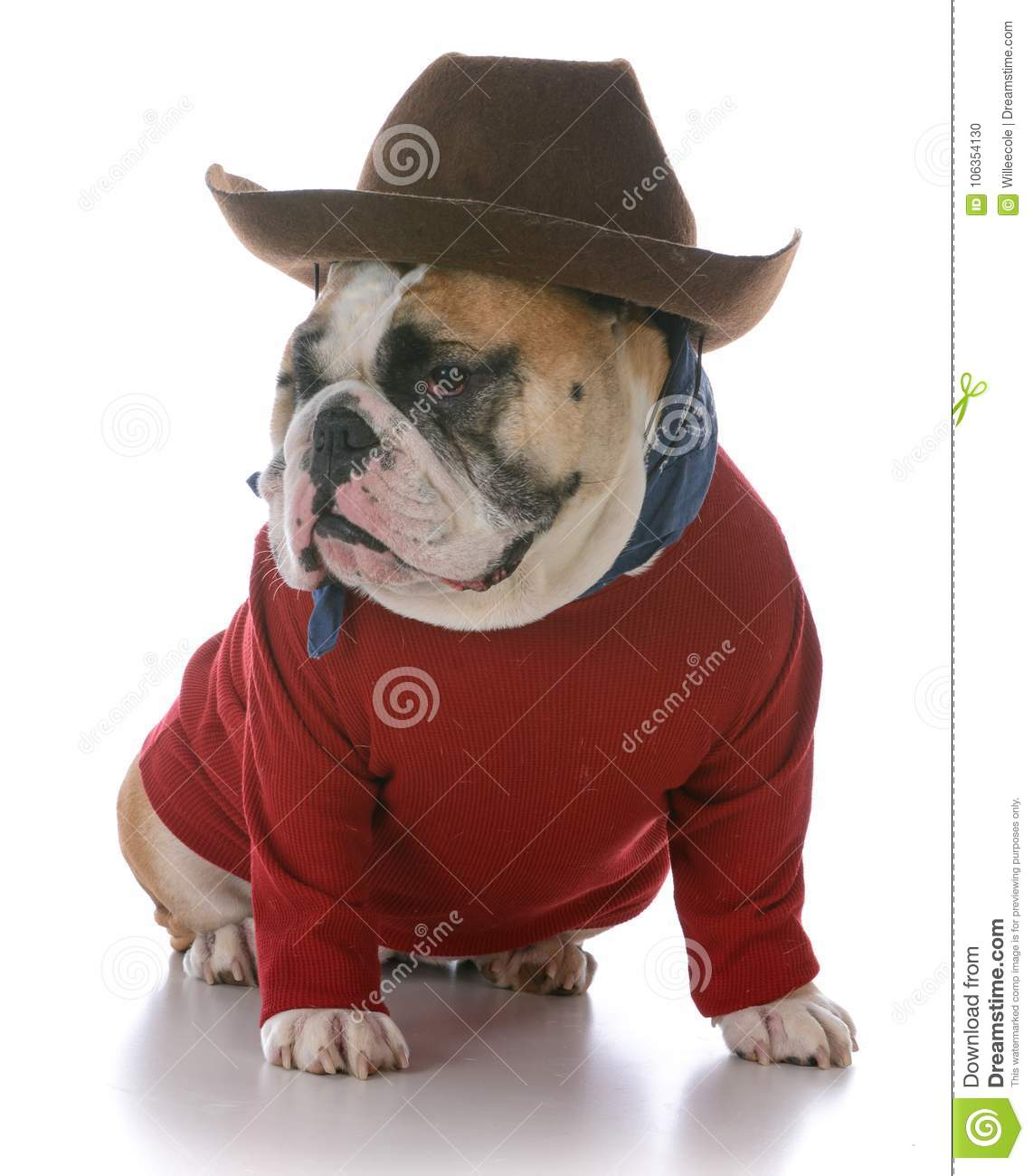 Female English Bulldog Stock Photo Image Of Cowboy 106354130