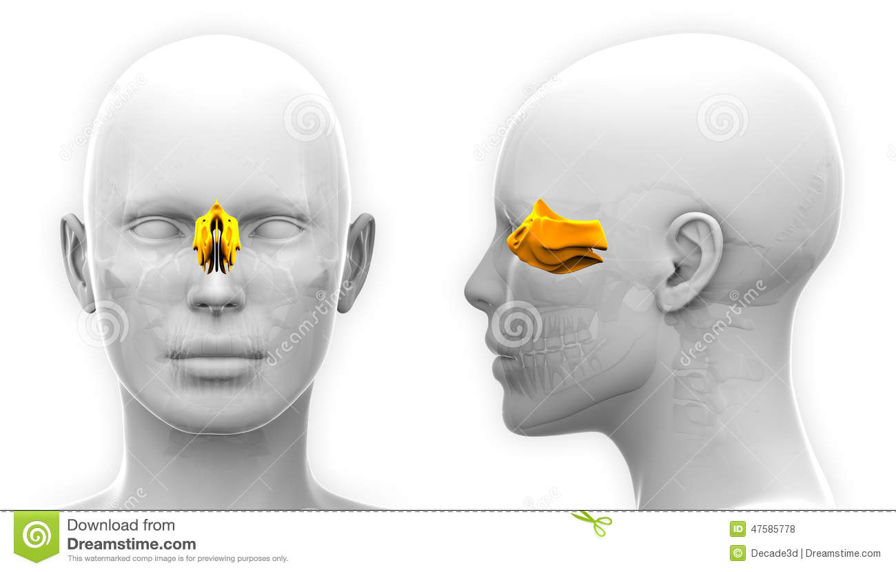 Ethmoid Cartoons, Illustrations & Vector Stock Images - 185 Pictures ...