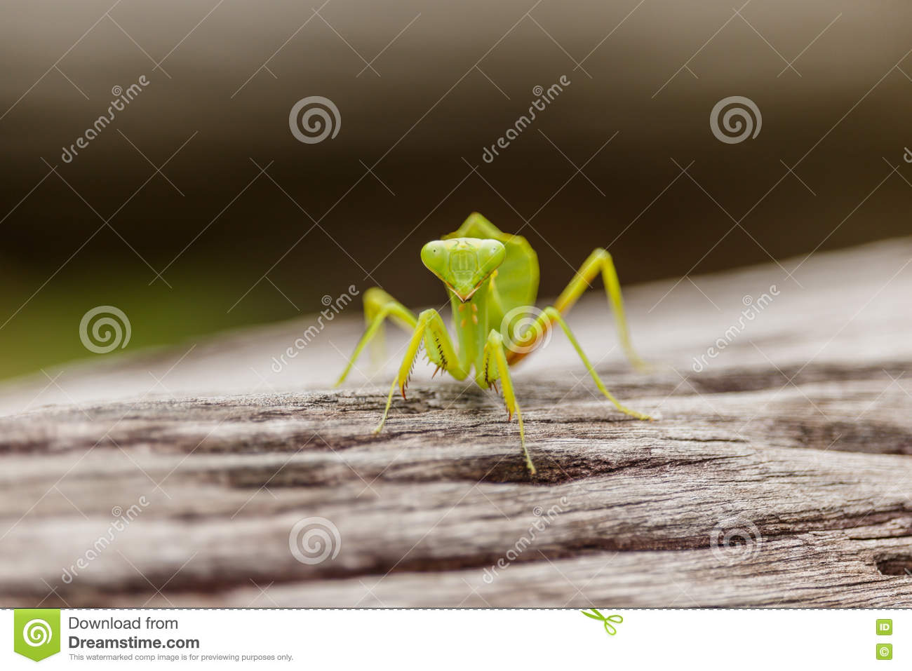 the description of the praying mantis mantis religiosa Praying mantis learn more about names for this taxon  brief summary  mantis  religiosa is a mantis species native to temperate areas of europe, asia and.