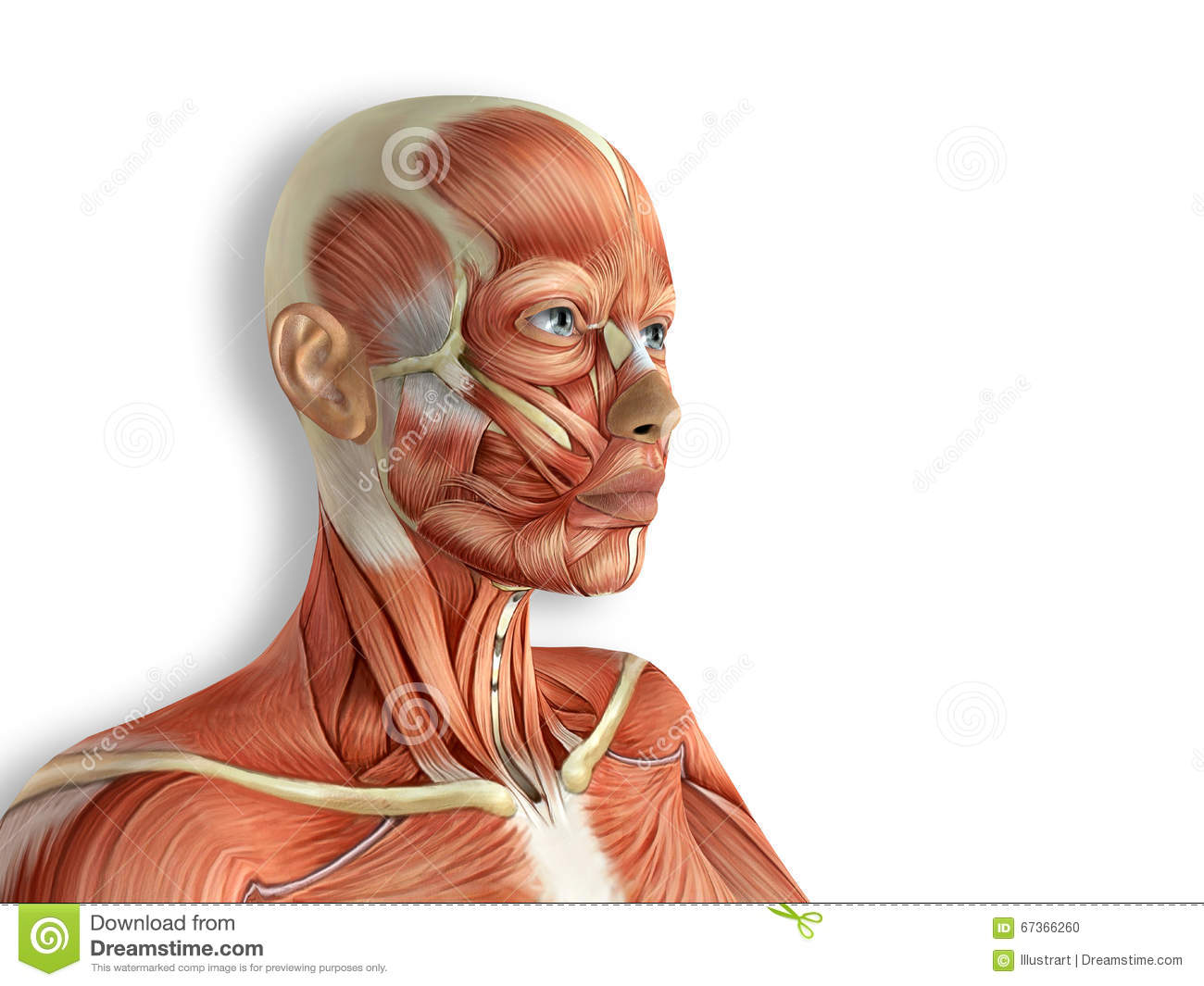 Female Face Muscles Anatomy Stock Illustration - Illustration of ...