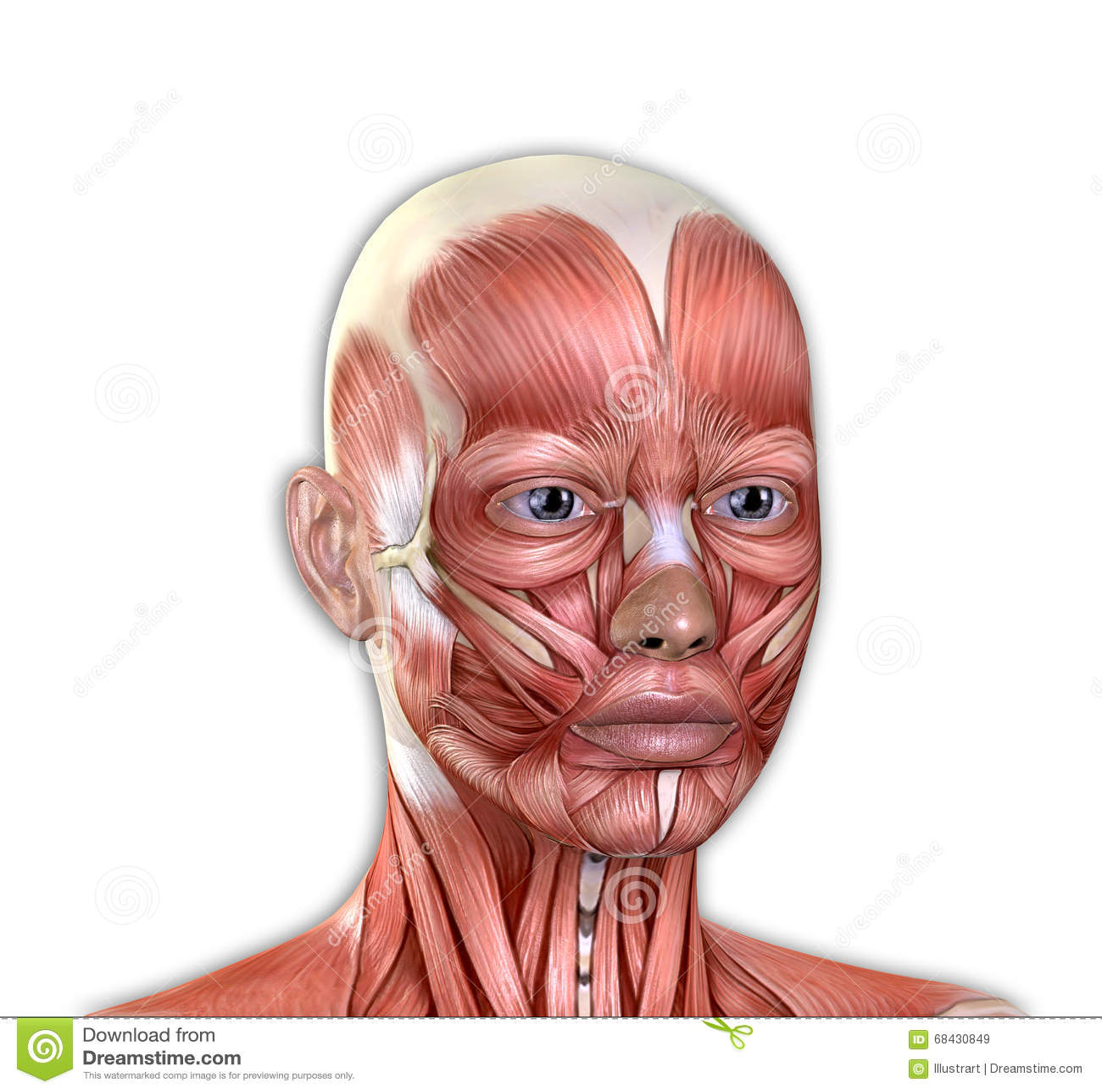 Female Face Muscles Anatomy Stock Illustration - Illustration of ...