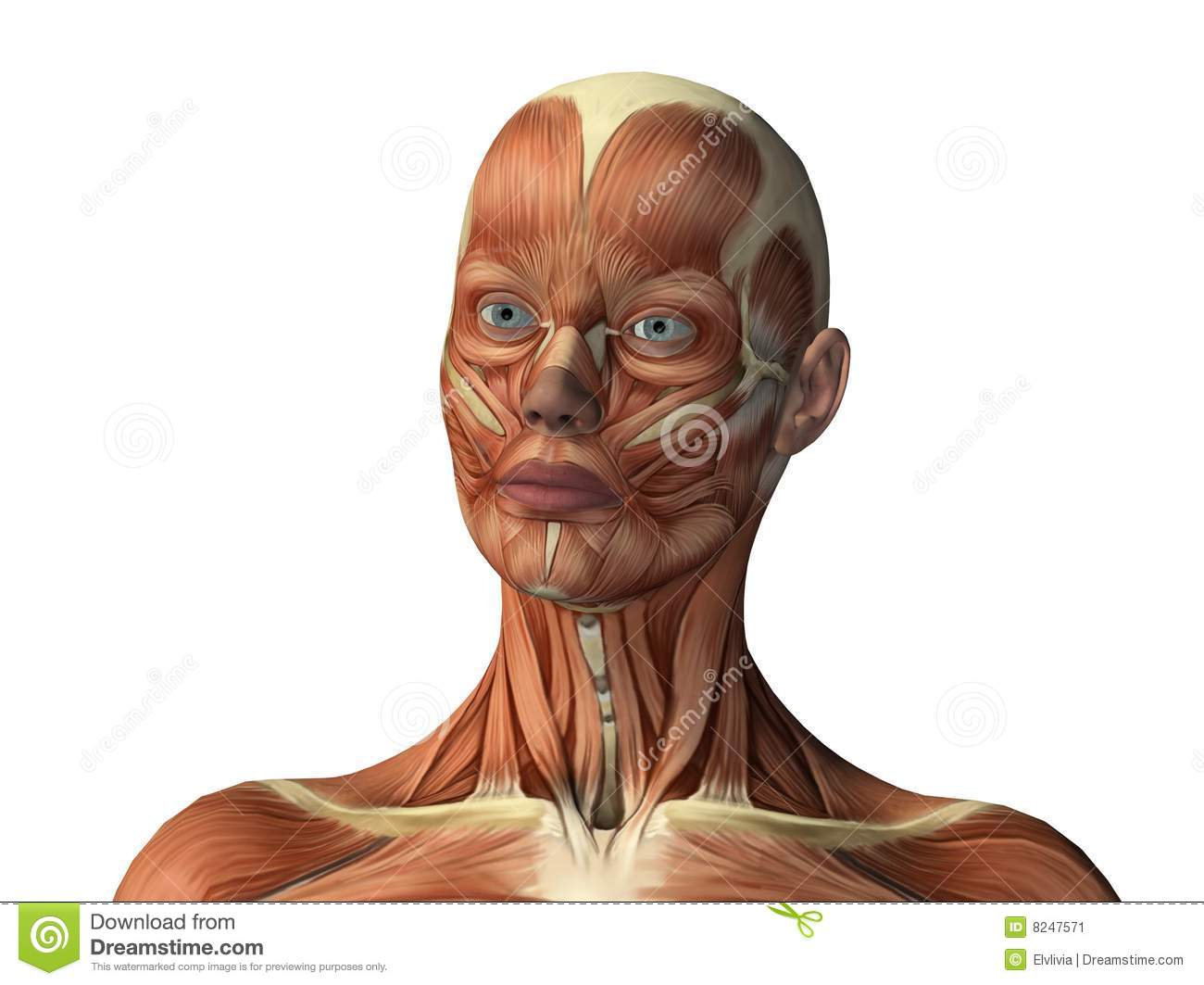 Female Face Showing Muscles Stock Image Image 8247571