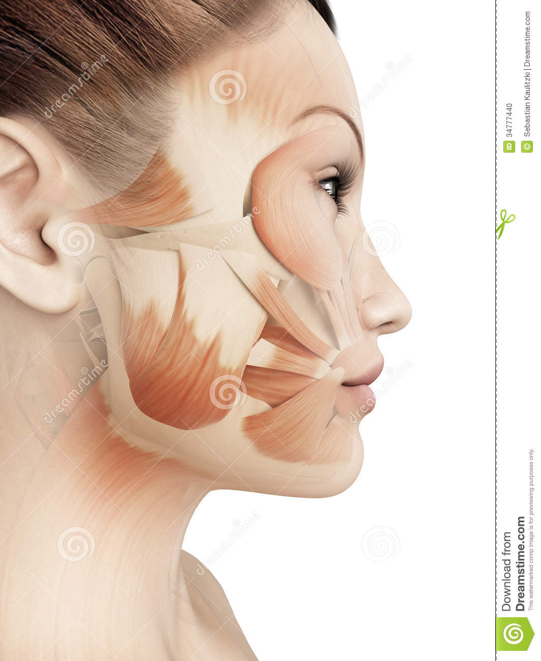 an introduction to the analysis of facial muscles