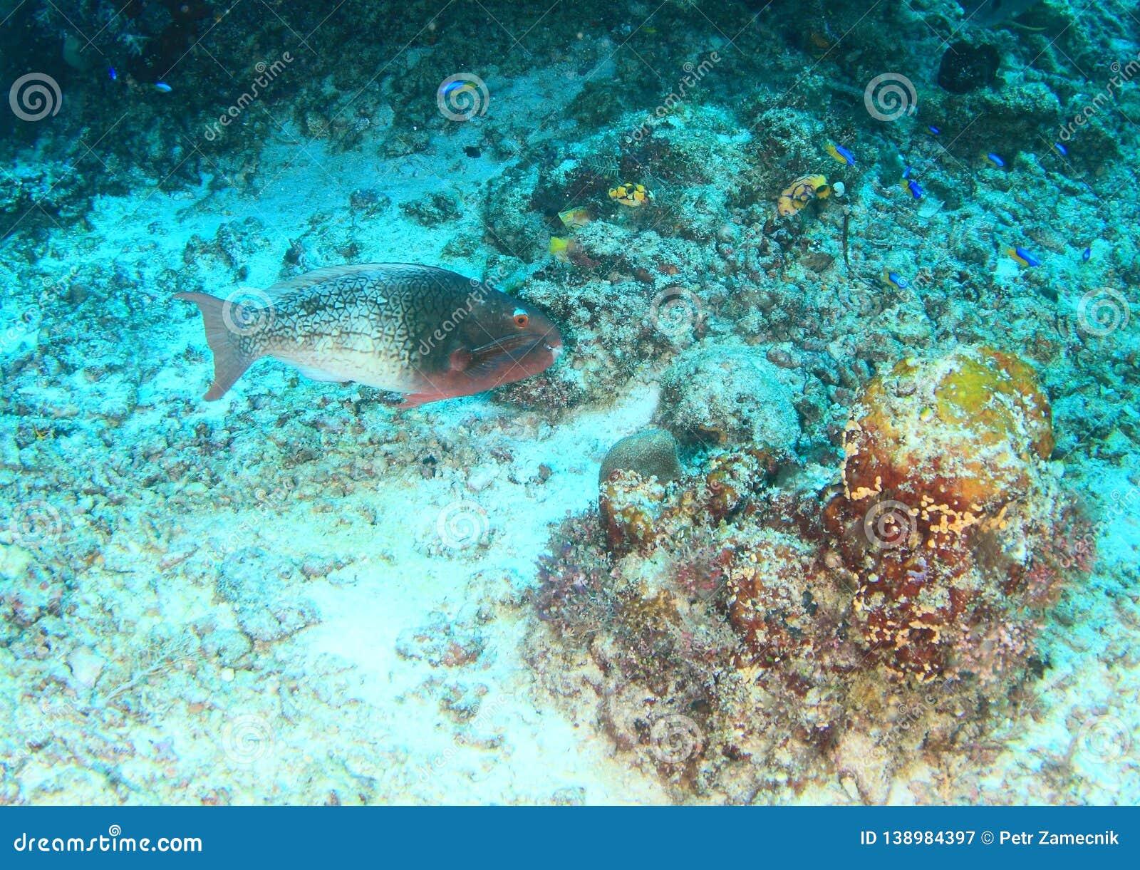 Female fish Black-veined parrotfish