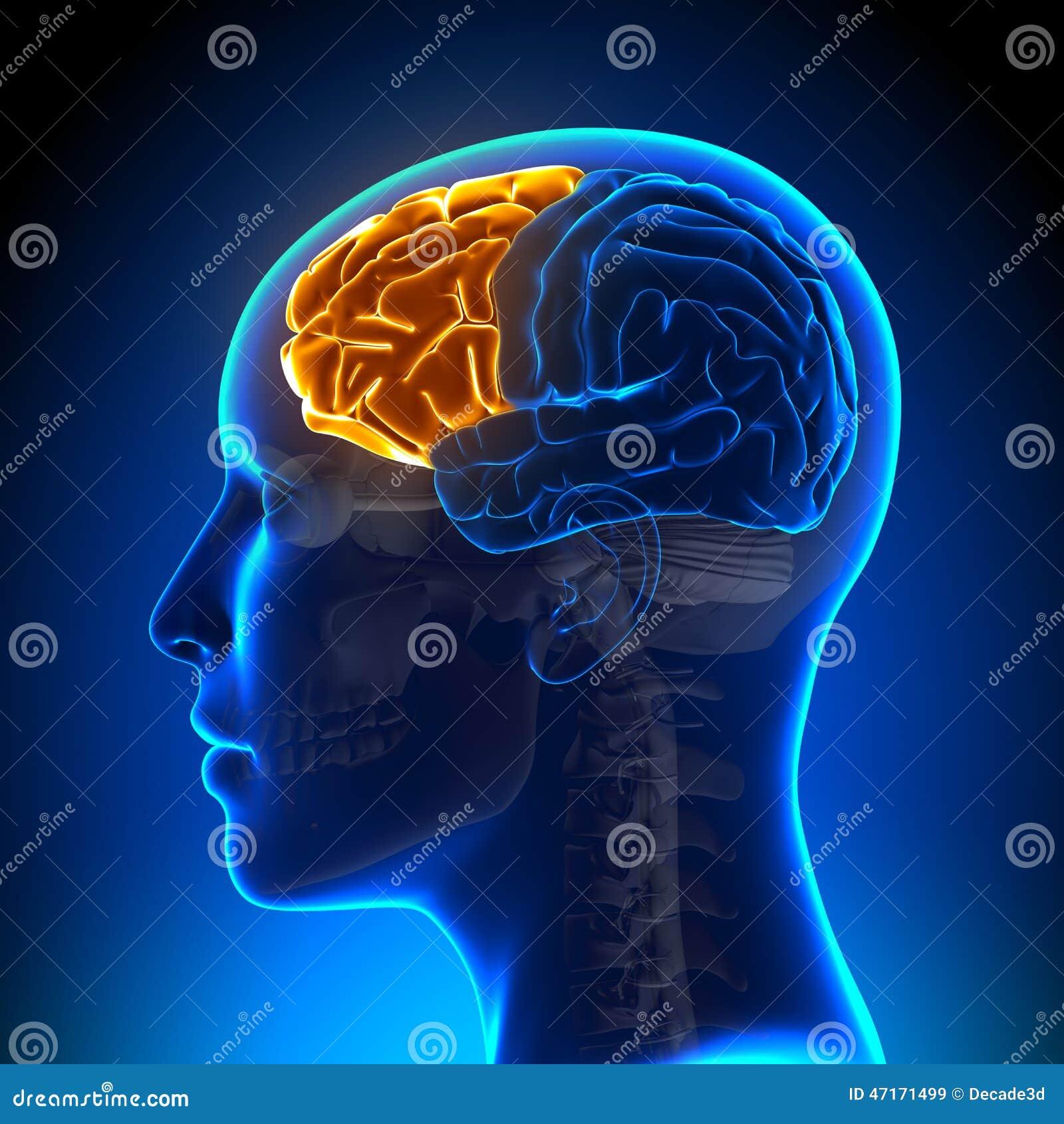 Female frontal anatomy