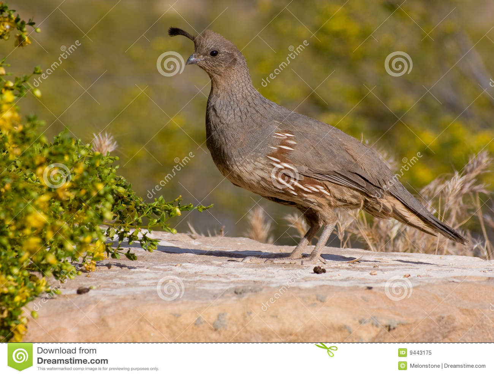Female gambel quail s