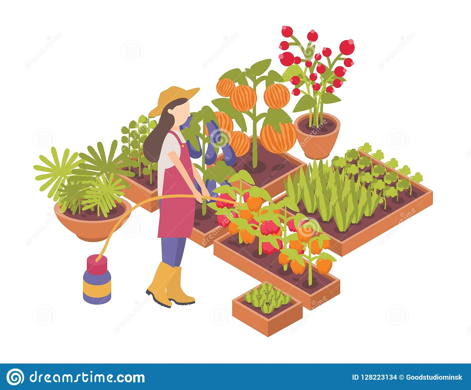 Female gardener or farmer watering crops growing in boxes or planters isolated on white background. Agriculture worker