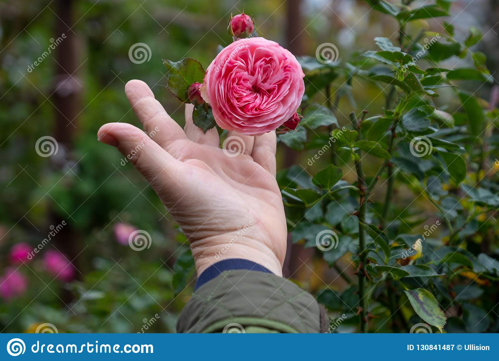 Female Gardener holding a filled pink erotic rose flower on the rose bush in the rose garden with love in her fingers