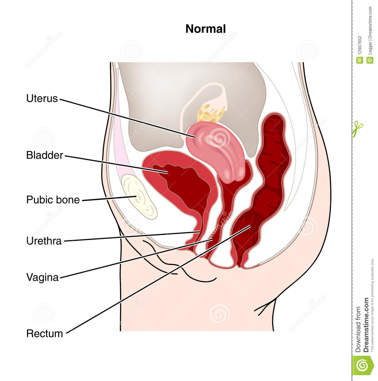 Female Genitourinary Stock Vector Illustration Of Reproductive