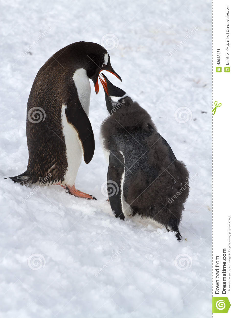 Female Gentoo penguins that feeds the chick standing on