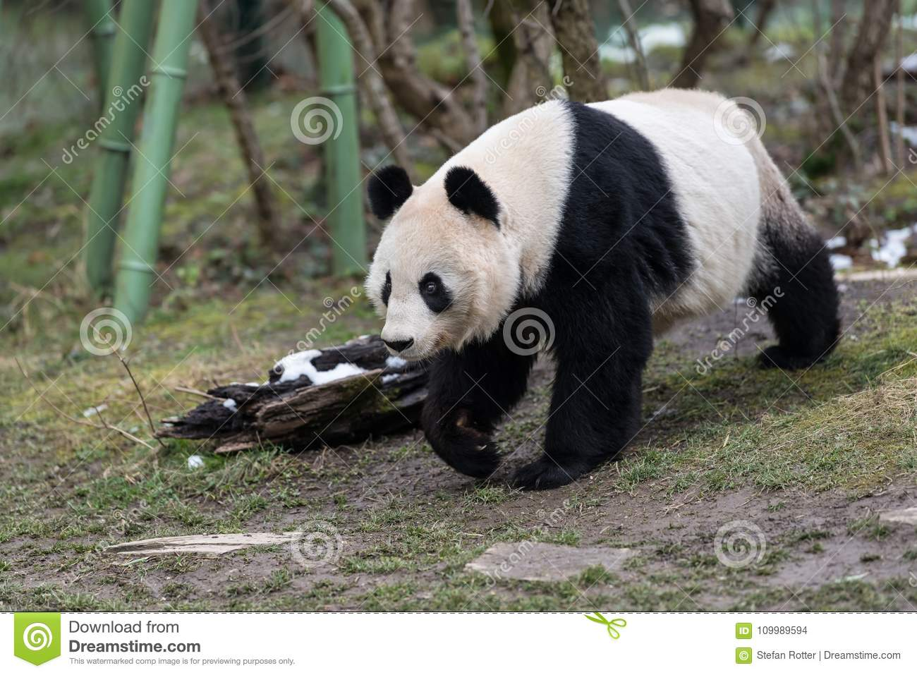 A female giant panda walking in a zoo