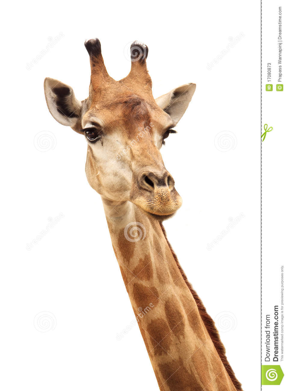 giraffe head white background - photo #19