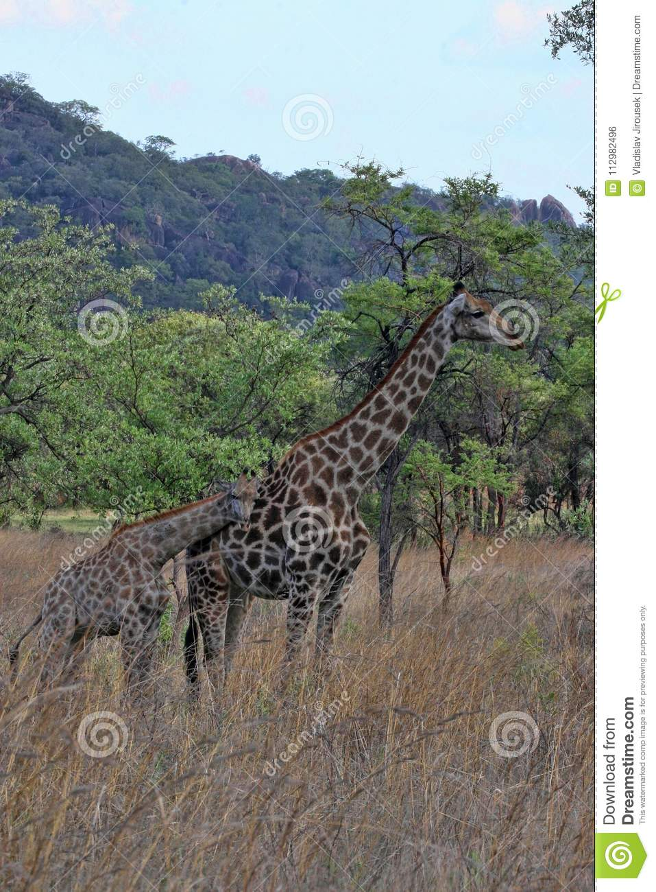 Female giraffes with youngsters, Matopos National Park, Zimbabwe