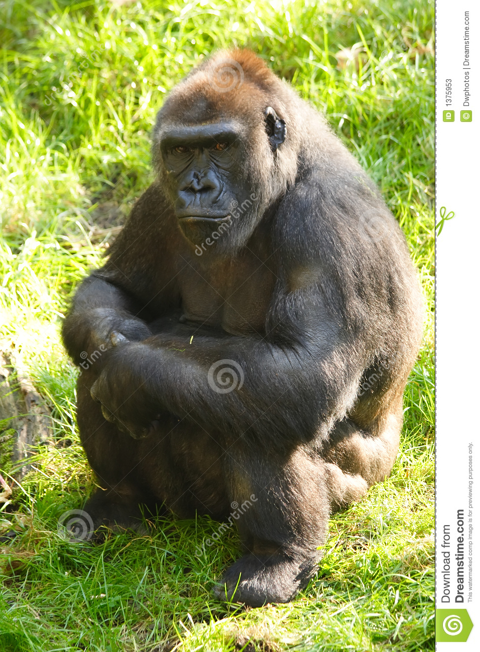 Female Gorilla Stock Photos - Image 1375953-9348